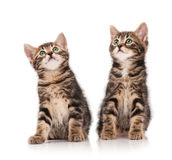 Siberian kittens Royalty Free Stock Images