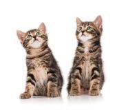 Siberian kittens Royalty Free Stock Images