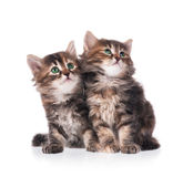 Siberian kittens Royalty Free Stock Image