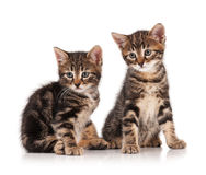 Siberian kittens Stock Images