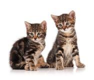 Siberian kittens Stock Images