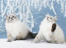 Siberian kittens in snowy forest Royalty Free Stock Photo
