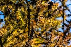 Siberian lärk i hösten Arkivbilder