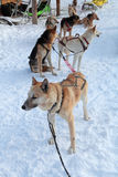 Siberian Laika Royalty Free Stock Photos