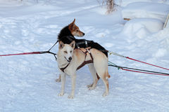 Siberian Laika Stock Images