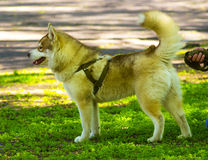 Siberian Laika. Husky dog pet favorite. Malamute. Young Alaskan Royalty Free Stock Photo