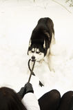 Siberian Laika playing with a strap Stock Photography