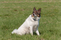 Siberian laika Stock Photo