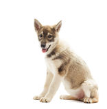 Siberian Laika puppy Stock Photos
