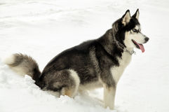 Siberian Laika stands at snow Royalty Free Stock Photography