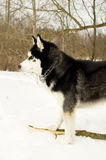 Siberian Laika in winter Royalty Free Stock Images