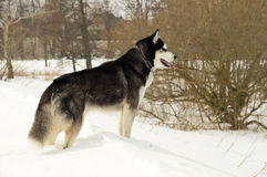 Siberian Laika in winter nature Royalty Free Stock Photo