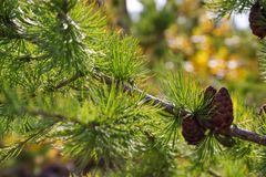 Siberian larch branches with cones lit by the rays of the sun royalty free stock photo