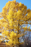 Siberian larch. Larch changed the color of pine needles in the fall Stock Images