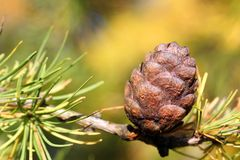 Siberian Larch Cone (Larix Sibirica) Stock Photos
