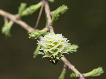 Siberian larch cone with young fir-needles in spring on bokeh background, shallow DOF, selective focus Stock Image