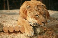 Siberian Liger sleeping Stock Images