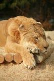 Siberian Liger sleeping Royalty Free Stock Image