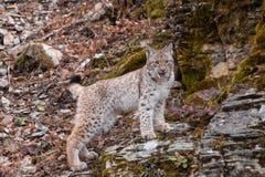 Siberian lodjurkattunge i nedgången royaltyfri foto