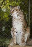 Siberian Lynx - Bear Creak Feline Center Royalty Free Stock Photos