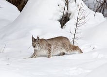Siberian Lynx in Classic Stance Stock Images