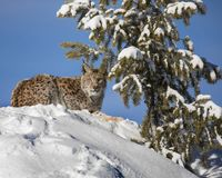 Siberian Lynx Cub. On a hill. This photo was created in February 2018 in Montana ,USA royalty free stock photo