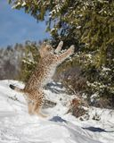 Siberian Lynx Cub. Jumping. This photo was created in February 2018 in Montana ,USA stock photography