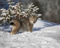 Siberian Lynx Cub. This photo was created in February 2018 in Montana ,USA stock image
