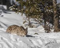 Siberian Lynx Cub. In the snow. This photo was created in February 2018 in Montana ,USA stock photos