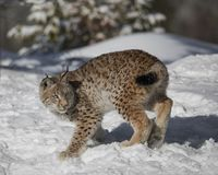 Siberian Lynx Cub. In the snow. This photo was created in February 2018 in Montana ,USA stock images