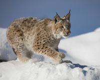 Siberian Lynx Cub. In the snow. This photo was created in February 2018 in Montana ,USA royalty free stock image