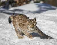 Siberian Lynx Cub. In the snow. This photo was created in February 2018 in Montana ,USA stock image