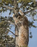 Siberian Lynx Cub. In a tree. This photo was created in February 2018 in Montana ,USA royalty free stock images