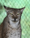 Siberian Lynx - Green Eye Reflection stock photography