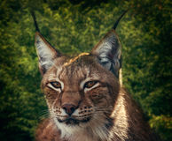 Siberian lynx Royalty Free Stock Photos