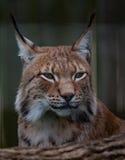 Siberian lynx Royalty Free Stock Image