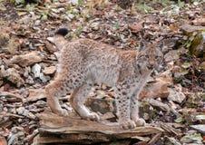 Siberian Lynx Kitten Climbing Rocks stock photo