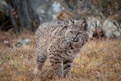 Siberian Lynx Kitten in the Fall stock photo