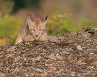 Siberian lynx kitten. Lynx lynx wrangeli peeking over rocky ledge Stock Image