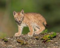 Siberian lynx kitten. Single Siberian lynx kitten Lynx lynx wrangeli Stock Photography