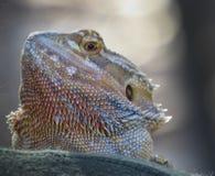 Bearded Dragon Portrait Royalty Free Stock Photos