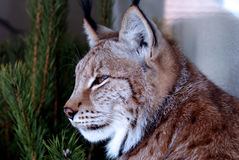Siberian lynx sitting near a tree Stock Photos
