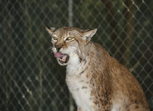 Siberian Lynx - Thousand Mile Stare. A rescued Siberian Lynx cleans its mouth and appears to have a thousand-mile stare following a snack of chicken drumsticks stock photo
