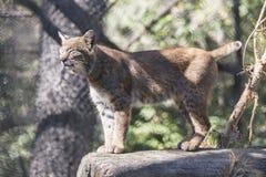 Siberian lynx. Wild animal in zoo Royalty Free Stock Photo