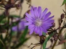 Siberian makro för grönsallat- eller LactucaSibirica blomma, selektiv fokus, grund DOF fotografering för bildbyråer