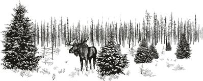 Siberian moose in winter forest. Royalty Free Stock Images