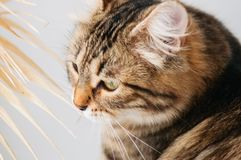 Siberian motley cat. Sitting near window Royalty Free Stock Photos