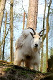 Siberian mountain goat. Big white Siberian mountain goat royalty free stock image