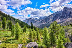 Siberian mountain rare woods Royalty Free Stock Images