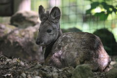 Siberian musk deer. The lying siberian musk deer Royalty Free Stock Photos